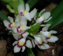 Tuberolabium phillipsii