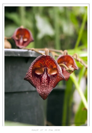 Aristolochia salvadorense aristolochiaceae IMGP8179 rw