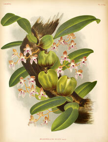 Bulbophyllum anceps plate