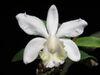 Cattleya loddigesii alba'