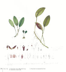 Trichosalpinx punctatifolia plate