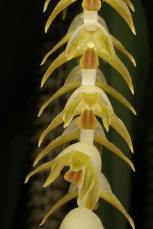 Dendrochilum magnum