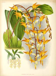 Gongora maculata plate