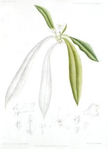 Tuberolabium rhopalorrhachis plate