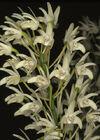 Dendrobium speciosum curvicaule