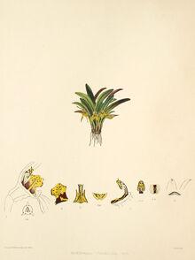 Dryadella obrieniana plate
