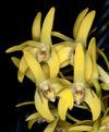 Den. speciosum capricornicum