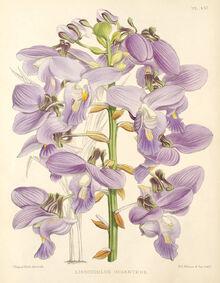Eulophia bouliawongo plate