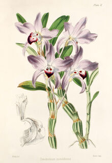 Dendrobium moniliforme plate