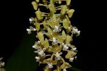 Eria paniculata