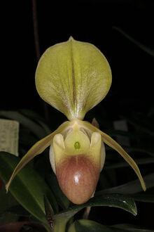 Paph. helenae