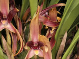 Maxillaria nigrescens