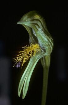 Pterostylis tasmanica