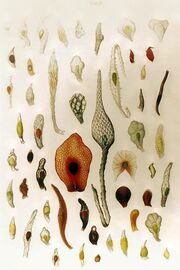 Orchid seeds