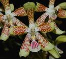 Phalaenopsis Palace Princess