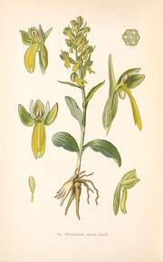 Coeloglossum viride plate