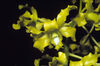 Den discolor yellow green