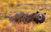 800px-Grizzly Denali Crop