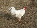 Chickencorz