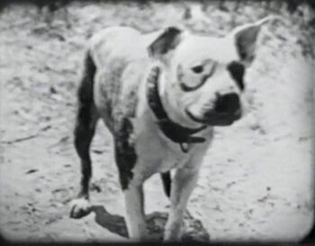 Pansy dog