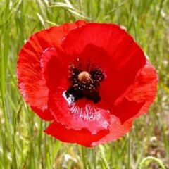 A real Poppy flower