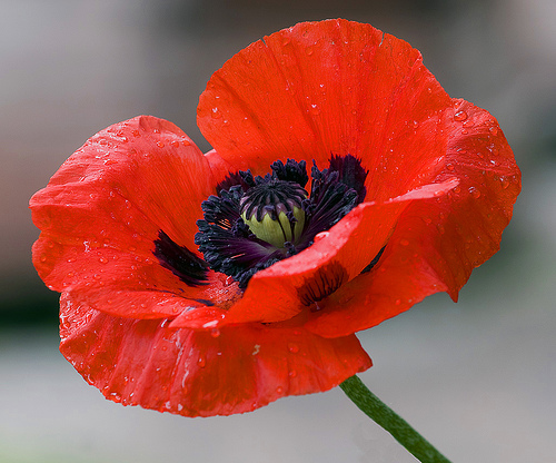 Poppies oz wiki fandom powered by wikia poppy flower mightylinksfo Image collections