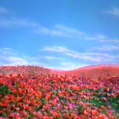 Poppies Oz