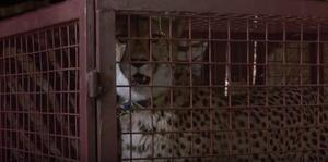 Duma in a cage