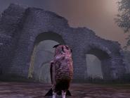 Cucuvea Little Owl