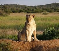250px-Okonjima Lioness