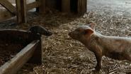 Wilbur meets Templeton