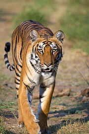 Tigress at Jim Corbett National Park