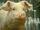 Snowball (Animal Farm)