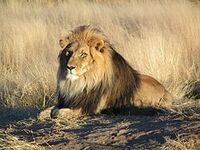 Lion waiting in Namibia