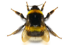 Bumble-bee insect
