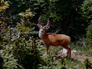 Bambi in Perri