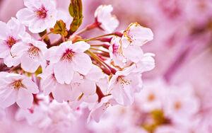 Nature-Sakura-Flower
