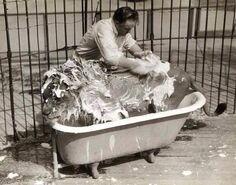 Bañando león