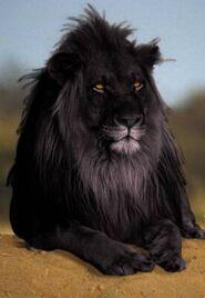 León coloración anómala