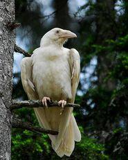 Cuervo albino