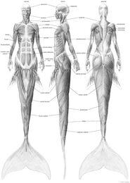 Estudio anatómico sirénido 3