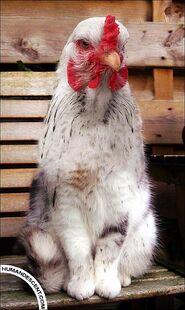 Gato-pollo