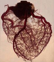 Circulación corazón