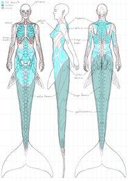 Estudio anatómico sirénido 2