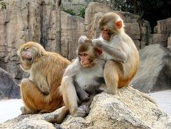 Rhesus Macaques 4528