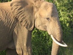 African Elephant by thesaint