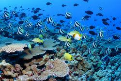 Nwhi - French Frigate Shoals reef - many fish
