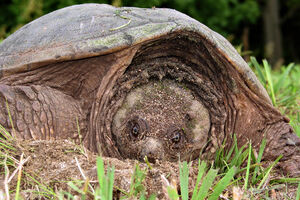 Snapping turtle 3 md