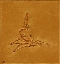Pterodactylus1