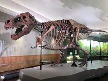 FMNH Tyrannosaurus rex Sue